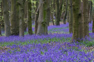 Bluebells Forest of Bowland