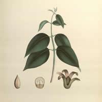 Illustration of medical botany