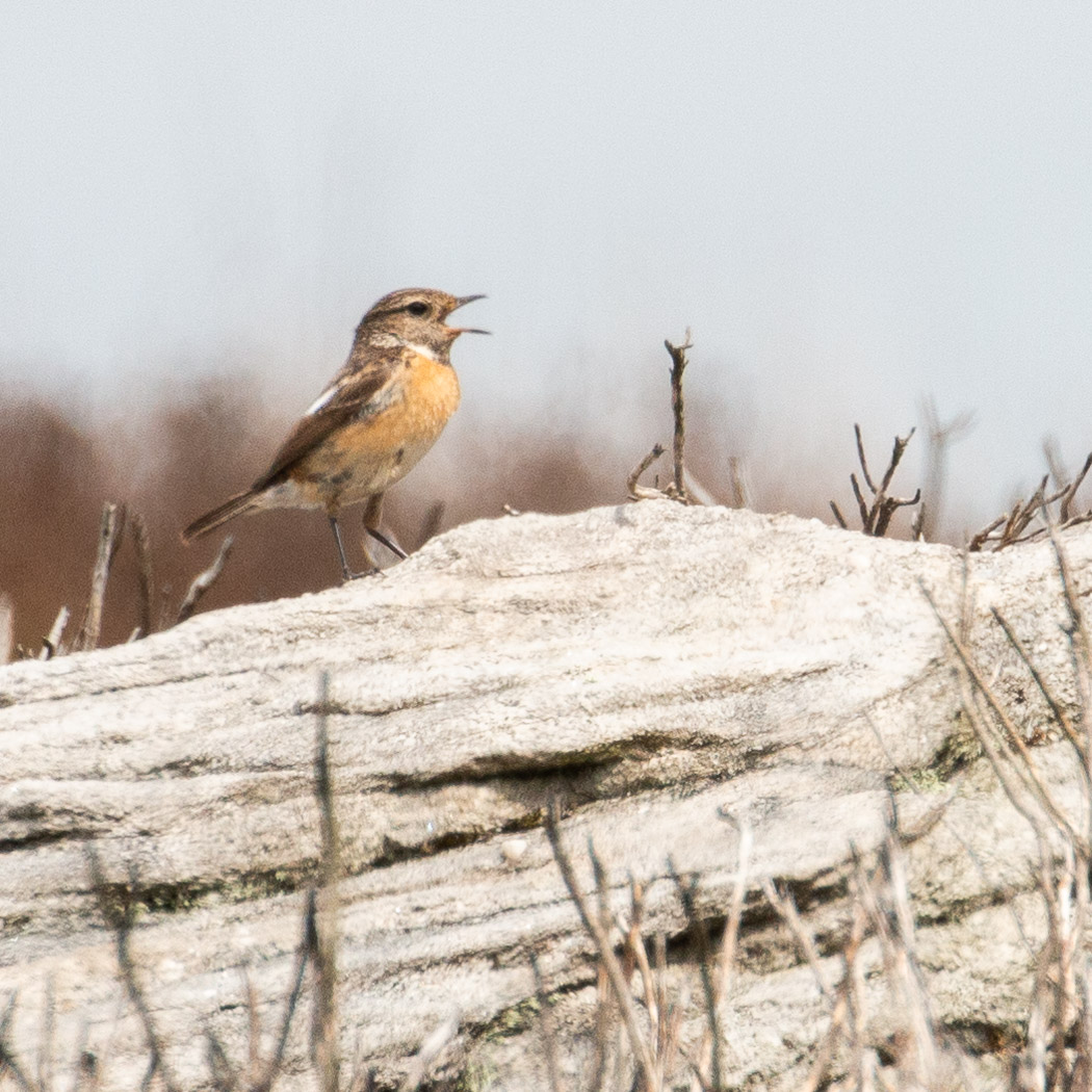 Male Whinchat on Barden Moor