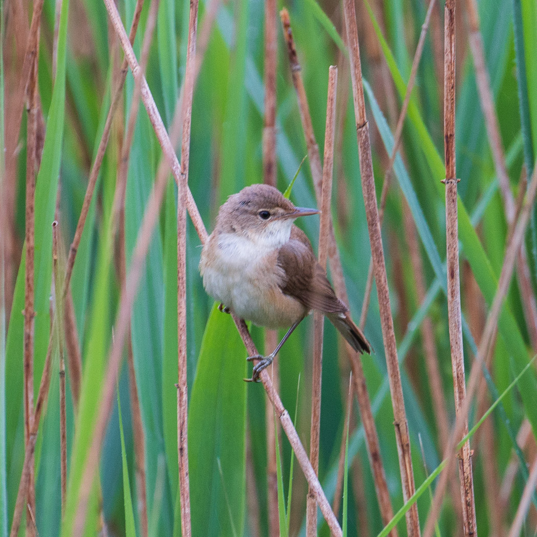 Reed Warbler at Staveley