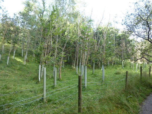 Figure 4 Dead young ash in a recent plantation
