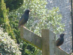 Sunning Starlings