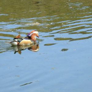 Drake Mandarin Duck