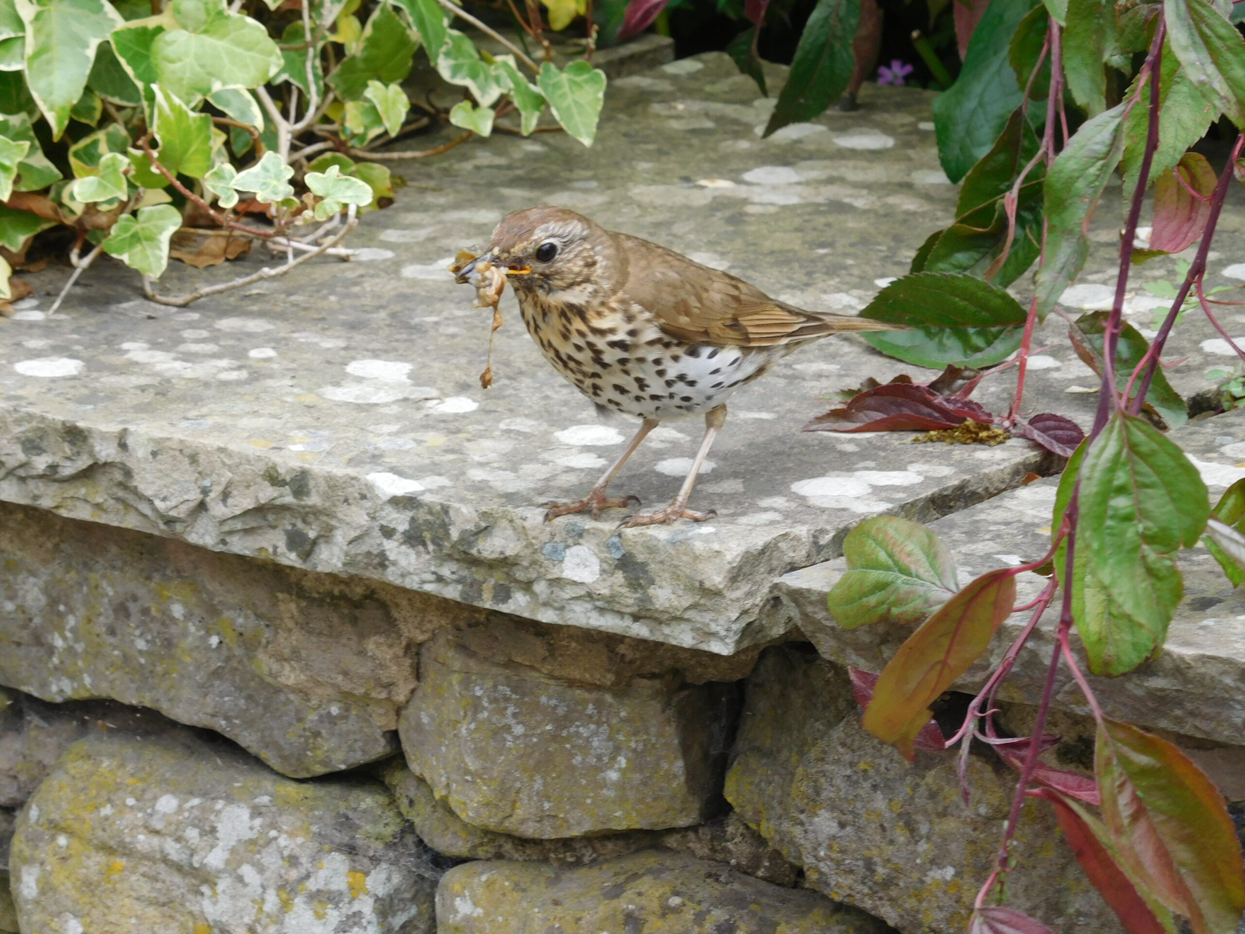 Song Thrush carrying food © UWFS, Image by Ann Shaw
