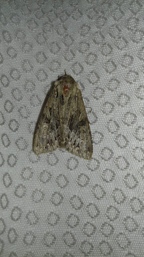 An as yet unkown moth, but we're working on it.