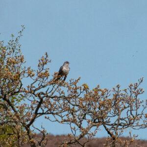 Barden Moor - Cuckoo