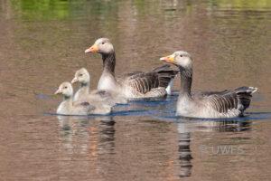 Barden Moor - Greylag Family