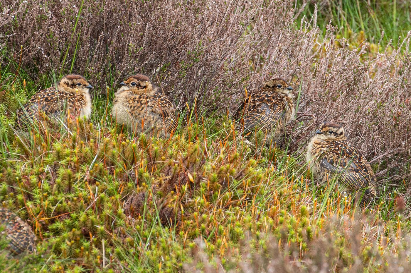 Barden Moor - Grouse Chicks
