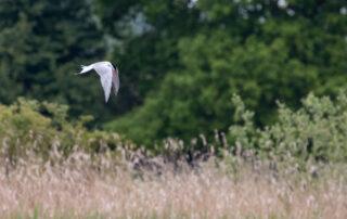 Staveley - Common Tern