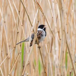 Staveley - Reed Bunting