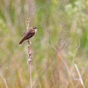 Staveley - Sedge Warbler
