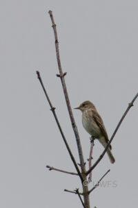 Staveley - Spotted Flycatcher
