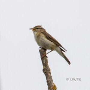 Staveley -Willow Warbler