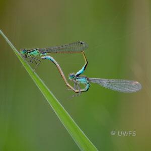 Leighton Moss - Common Blue Damselflies