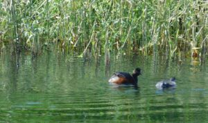 Black -necked Grebe and young by Ann Shaw