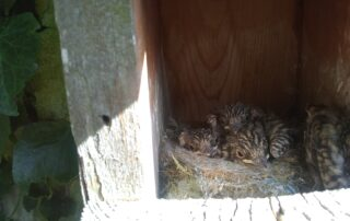 Spotted Flycatcher nestlings in box