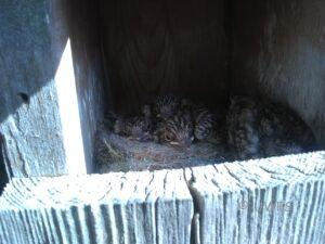 Spotted Flycatcher nestlings in box #2 by Win Clements