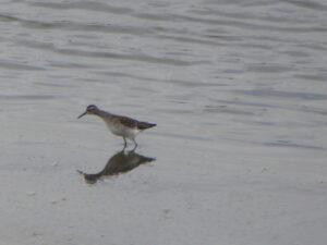 Wood Sandpiper at North Cave by Marg Smith