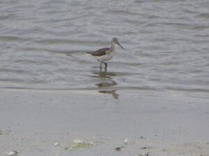 Green Sandpiper at North Cave by Marg Smith